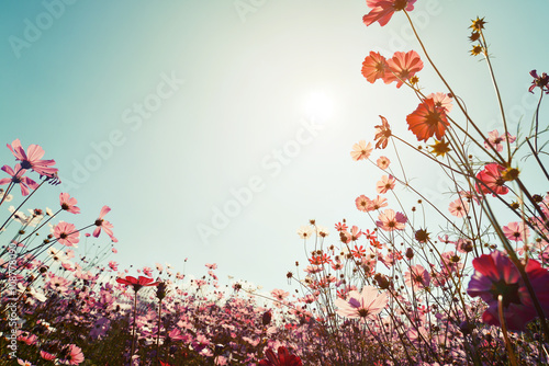 Wall mural Vintage landscape nature background of beautiful cosmos flower field on sky with sunlight. retro color tone filter effect