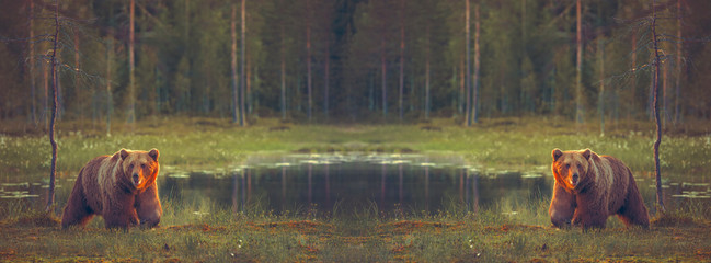 Big male bears walking in the bog for facebook cover background