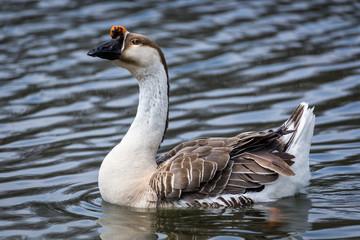 Brown swan goose in pond swimming