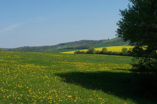 Prairie avec des fleurs de pissenlit printemps