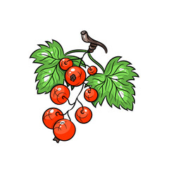 Vector currant illustration on white background