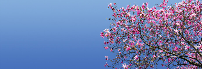 Spring Magnolia Blossoms Against Blue Sky Background