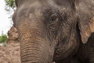 Asian elephant close up portrait