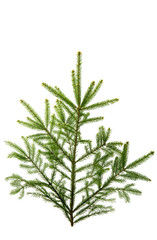 spruce isolated