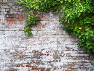 leaves on brick wall for wallpaper