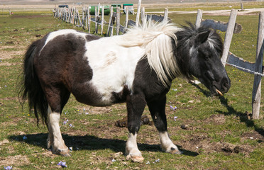 Portrait of black and white pony