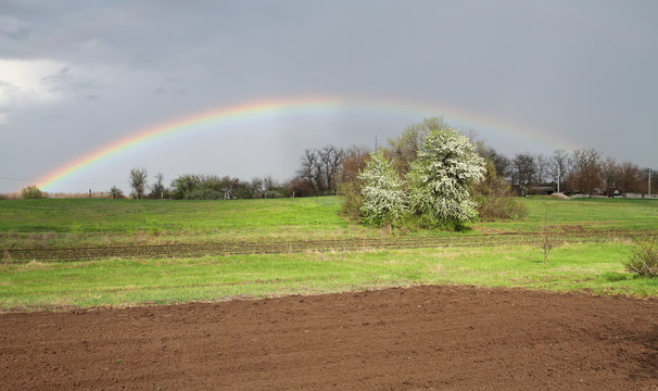 Full rainbow over arable land and a blossoming tree. Spring rain