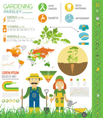 Gardening work, farming infographic. Parsley. Graphic template
