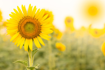Sun flower the sign of hope for your success and nature background.