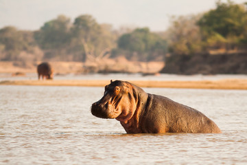 Wall Mural - Wild African Hippo