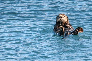 sea otter in the Alaska blue sea
