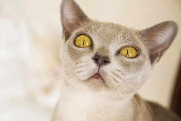 Cat with big yellow eyes looks up