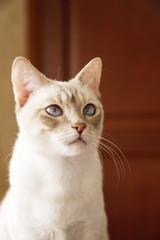 White and fluffy little Mekong bobtail companion