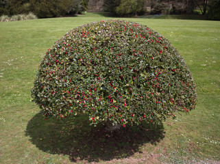 Shaped holy bush with berries
