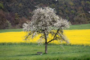 Apfelbaum in voller Apfelblüte vor Rapsfeld