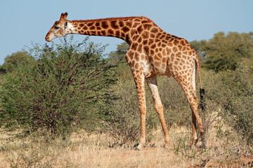 A giraffe (Giraffa camelopardalis) feeding on an Acacia tree, South Africa.
