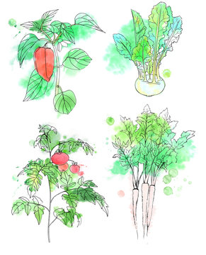 Watercolor illustration of fresh vegetables: tomatoes on branch, bell pepper on branch, kohlrabi, parsnip roots with leaves. Painted with splashes, stains and black outlines.