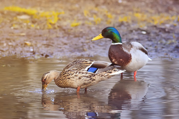 beautiful pair of birds and a duck a duck looking for food in the spring among the green grass and water