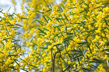 acacia dodonaefolia yellow flowers