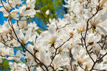 image of blossoming magnolia flowers in spring time