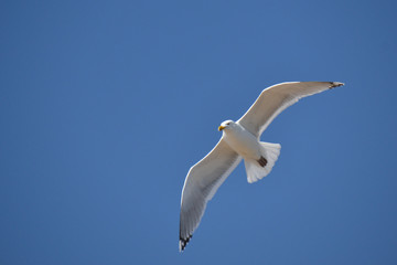 Gull on the Wing