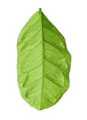 Green citrus leaf with droplets isolated on white