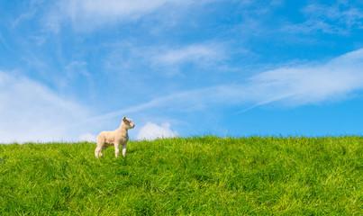 Lamb walking on a dike in spring