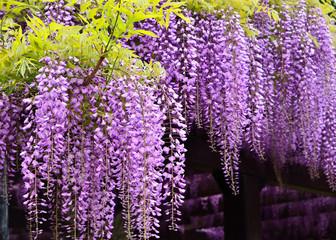 Flowering wisteria, Kyoto Japan.