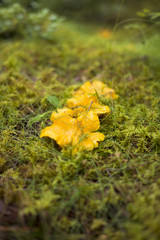 Yellow mushrooms in moss
