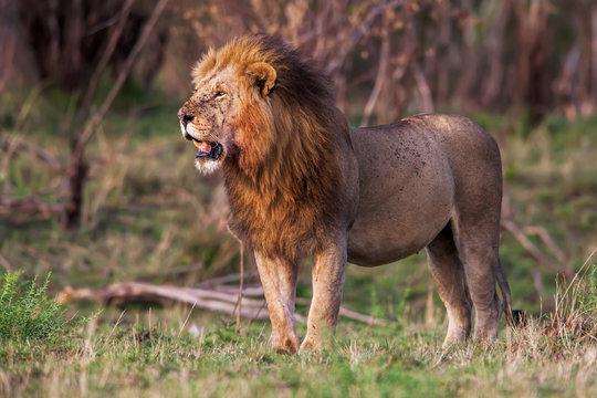Male lion standing in the grass at sunset, Kenya.