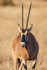 Portrait of a gemsbok antelope (Oryx gazella) in desert, Africa