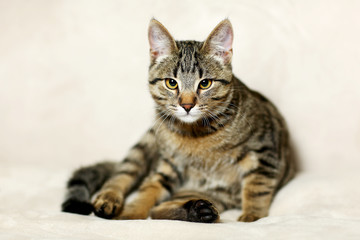 Beautiful striped cat sits on gray background