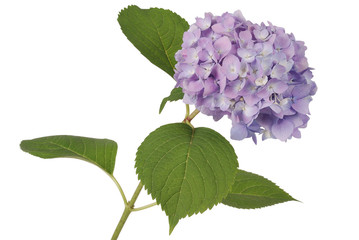 Foto op Aluminium Hydrangea Purple flower hydrangea (Clipping path)