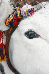 Reindeer eye, close-up