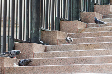 Small group of pigeons feeding on marble stairs