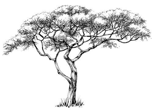 African tree, marula tree