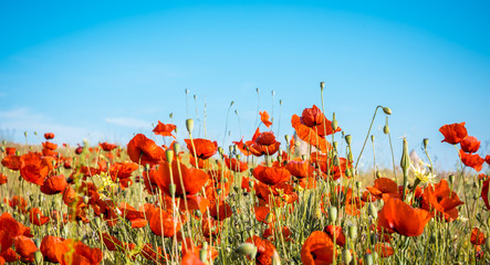 Wall Mural - Field of bright red poppy flowers in summer