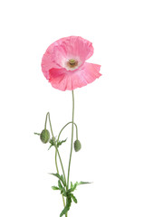 single pink poppy isolated on white