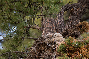 Great Horned Owlet in nest spring rocky mountain national park