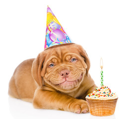 Happy smiling Bordeaux puppy dog with birthday hat and cake. iso
