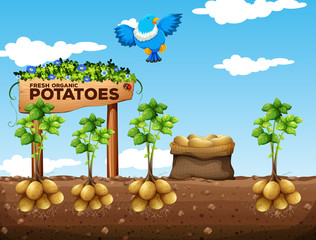 Scene of potatoes farm