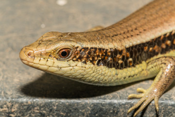 Skink (Lizard) on black gruge floor