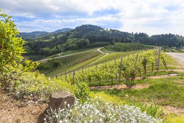 Vineyard near Oberkirch, Ortenau, Germany