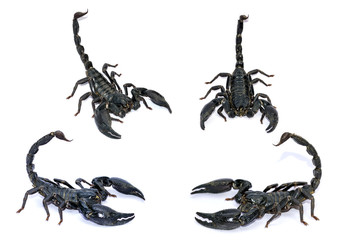 Black Scorpion isolated on white background.