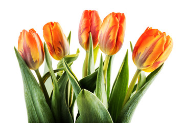 Bouquet of orange tulips on white