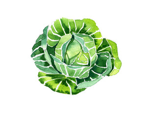 Watercolor summer insulated cabbage