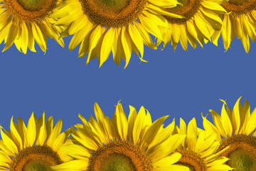 Sunflower Isolated on blue sky background