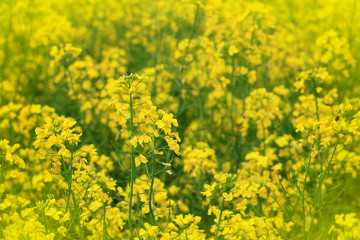 Rapeseed field, Blooming canola flowers close up