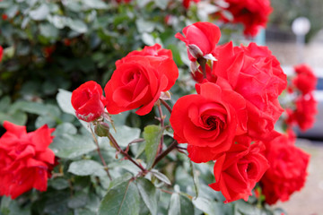 Some red ripe roses