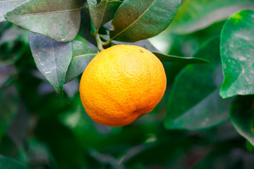 Single ripe mandarin on a tree